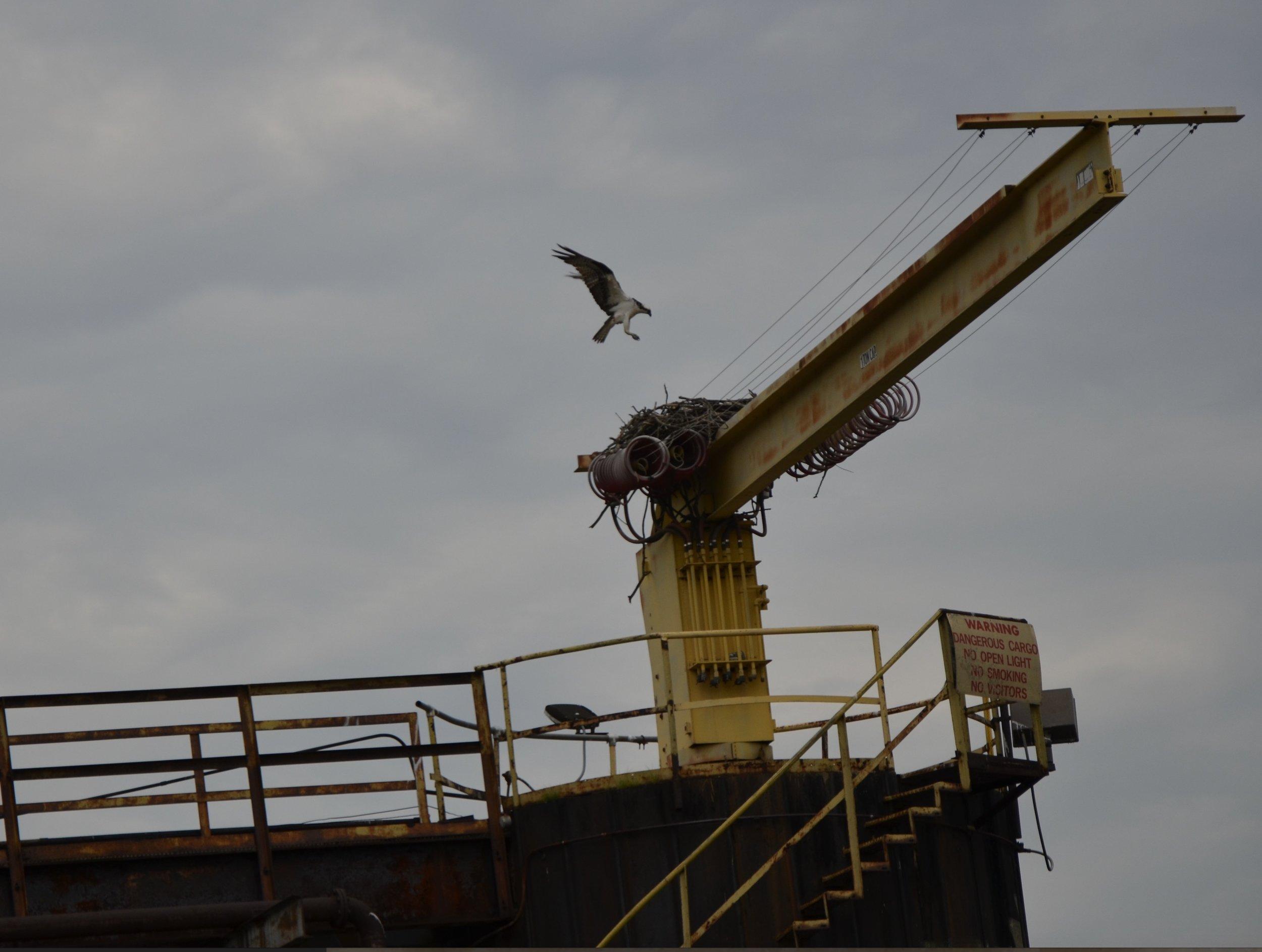the osprey nest at neville's dock.