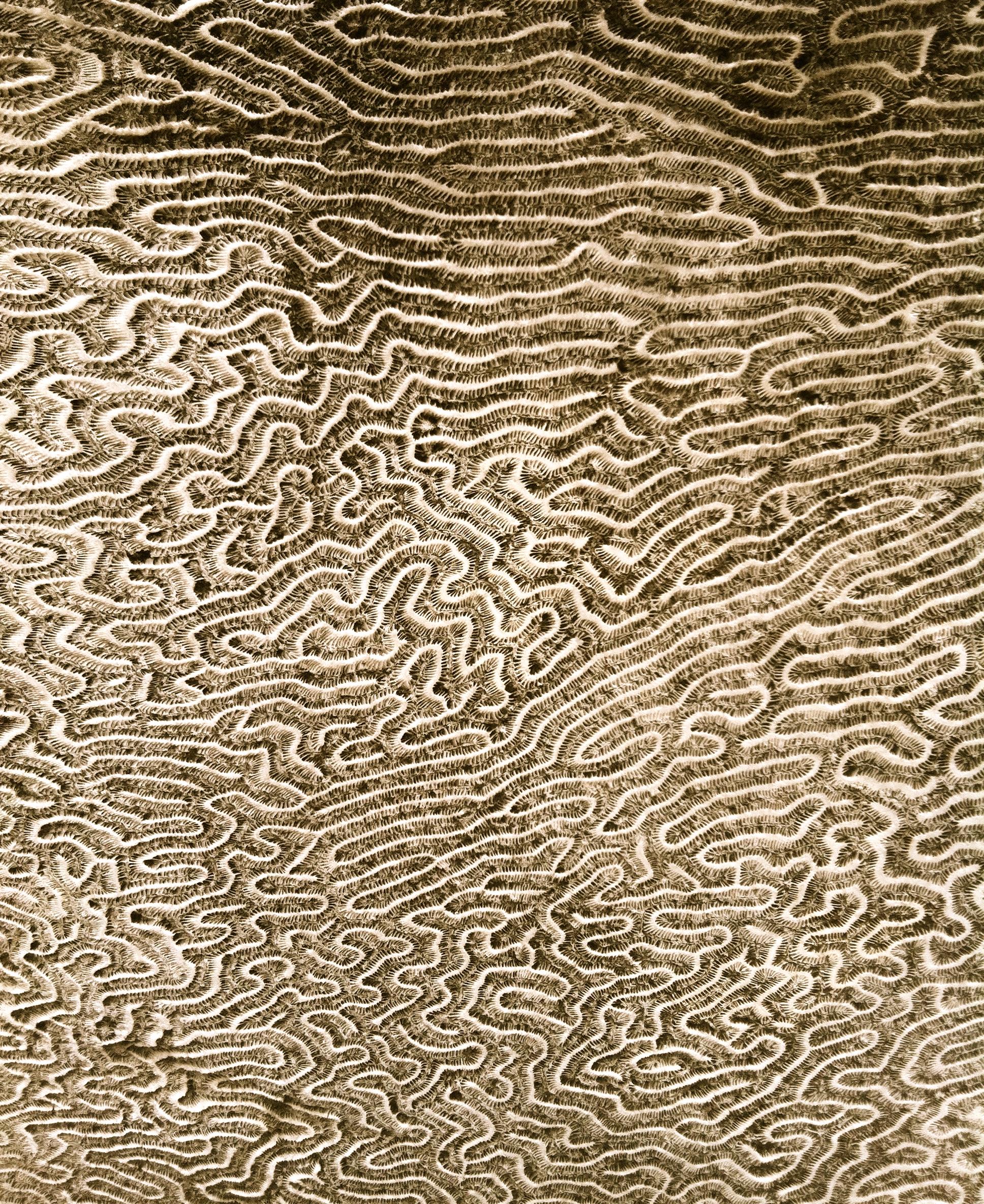 Brain coral,  photo: RRC