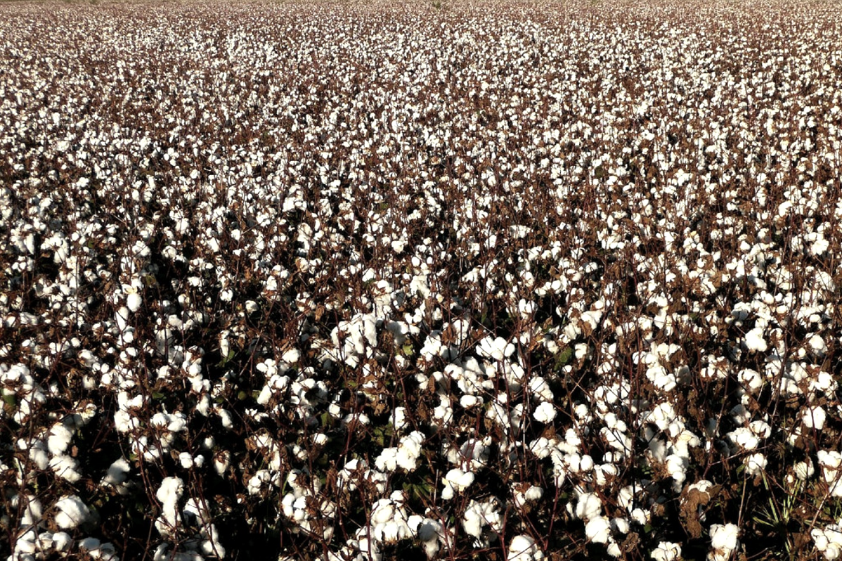 A Turkish cotton field.