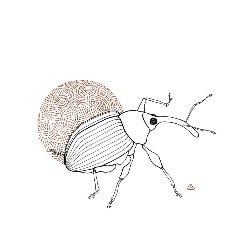 img290_beetle-black-and-brown_clean_for-web.jpg