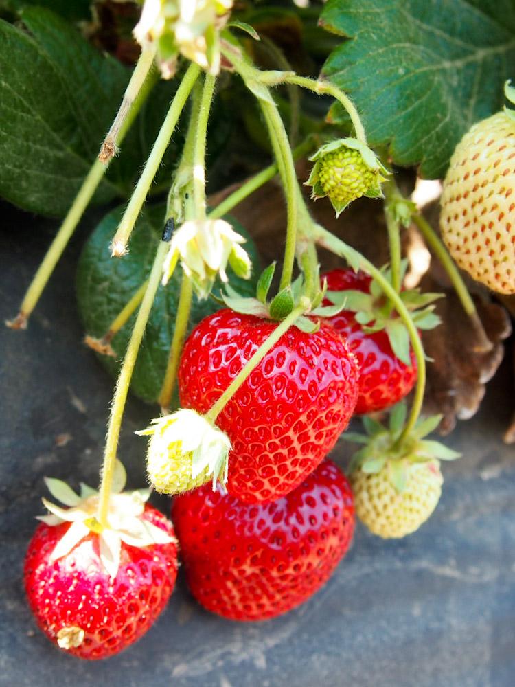 Strawberries at Fifth Crow Farm in Pescadero, California   vermilionroots.com