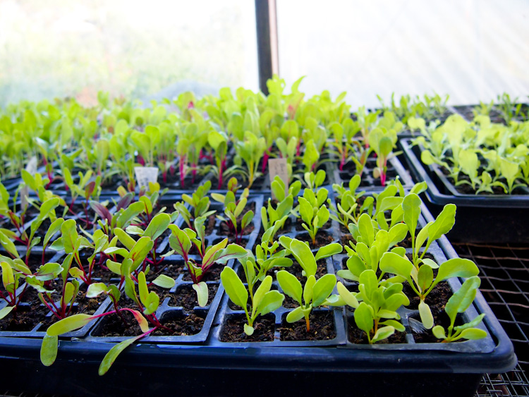 Seedlings at a WWOOF USA One Acre Farm | vermilionroots.com