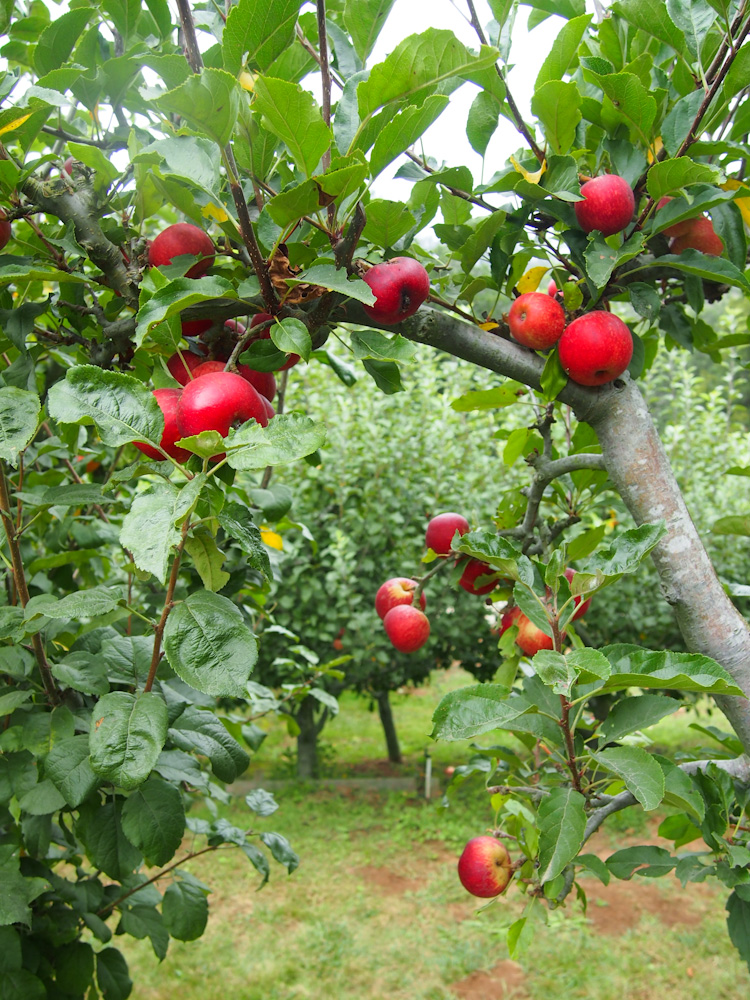 APPLE PICKING AT   CLEARVIEW ORGANIC ORCHARDS IN WATSONVILLE, CALIFORNIA     VERMILIONROOTS.COM.