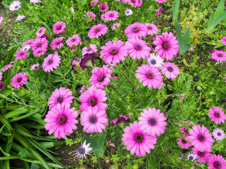 Spring time on vermilionroots.com: Daisies