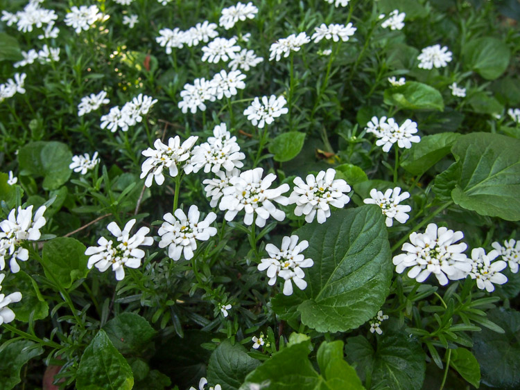 SPRING TIME ON VERMILIONROOTS.COM: Candytuft