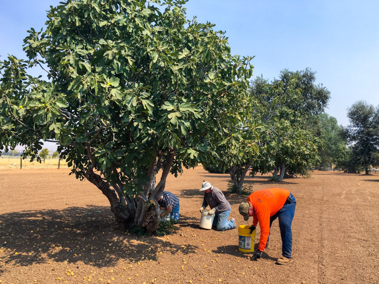 fig-farm-harvest.jpg
