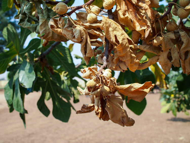 fig-farm-dried.jpg