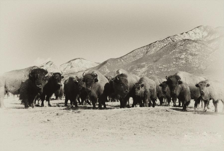 Pueblo Buffalo