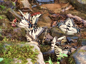 Swallowtail butterflies puddling at Ohiopyle State Park