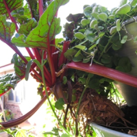 chard thrives in a vertical garden tower