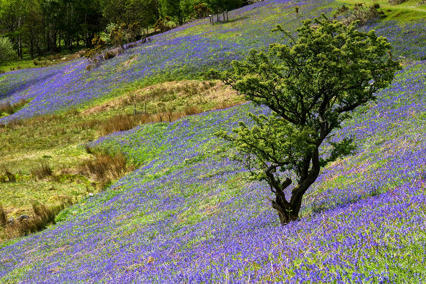 Lone-tree-amongst-the-Blue-Bells.jpg