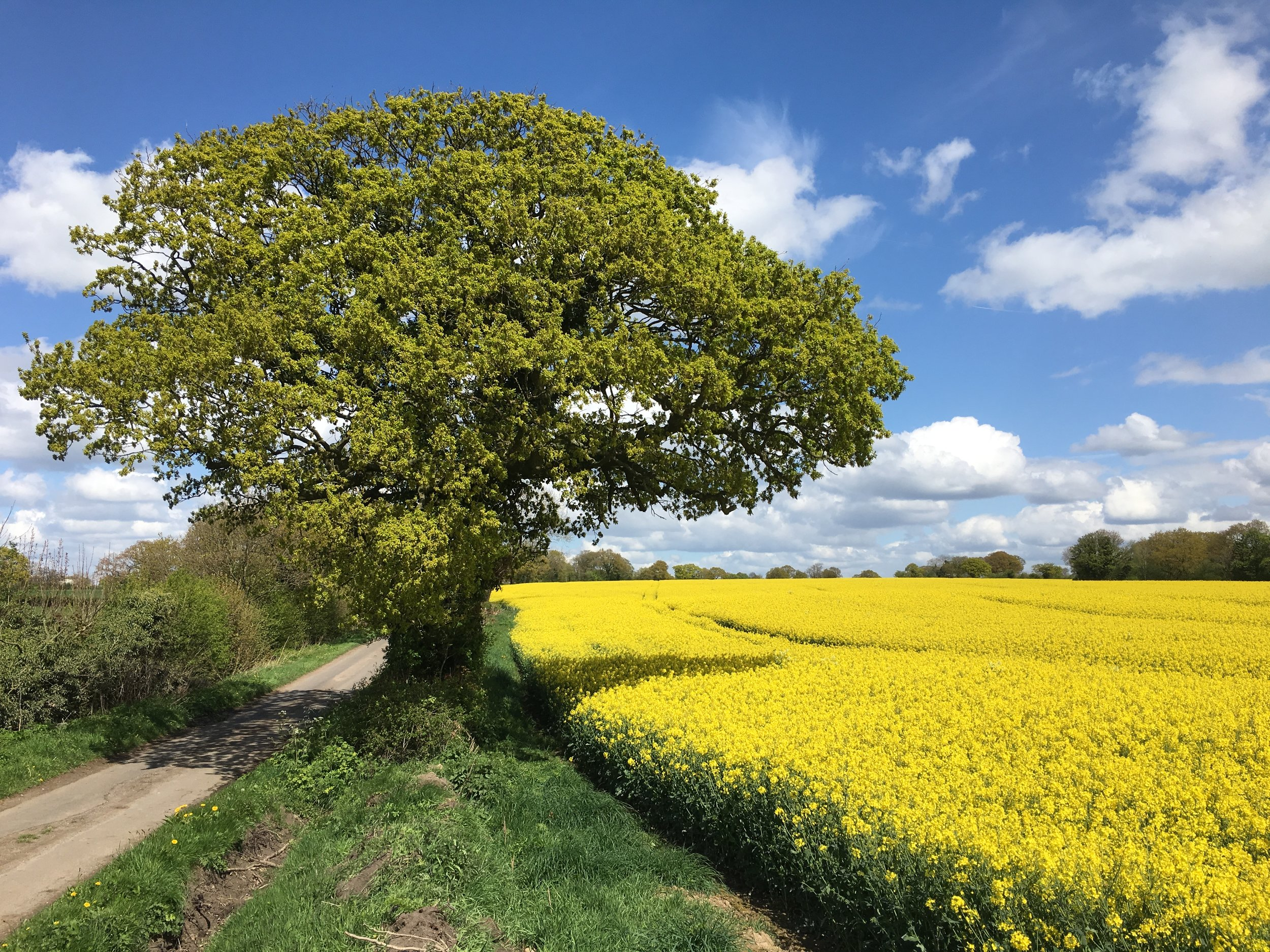 Rape Seed. That clash of blue, green and vivid yellow. A Brazil shirt in Cheshire.....