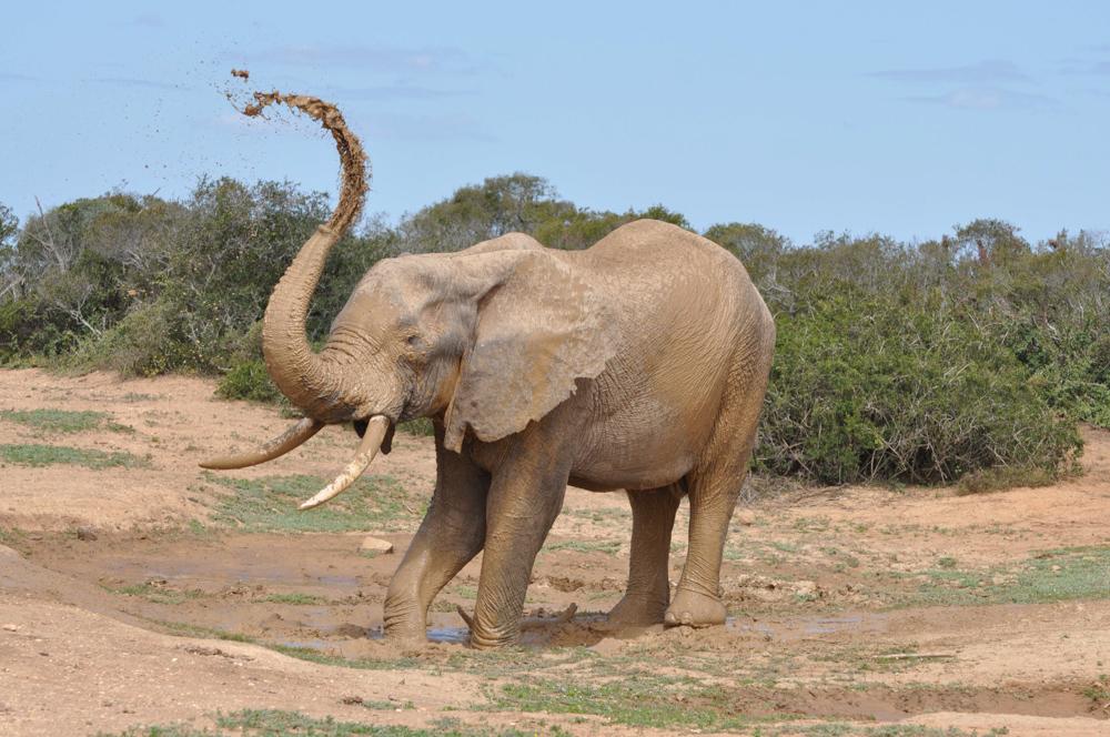 ELEPHANT 1 -