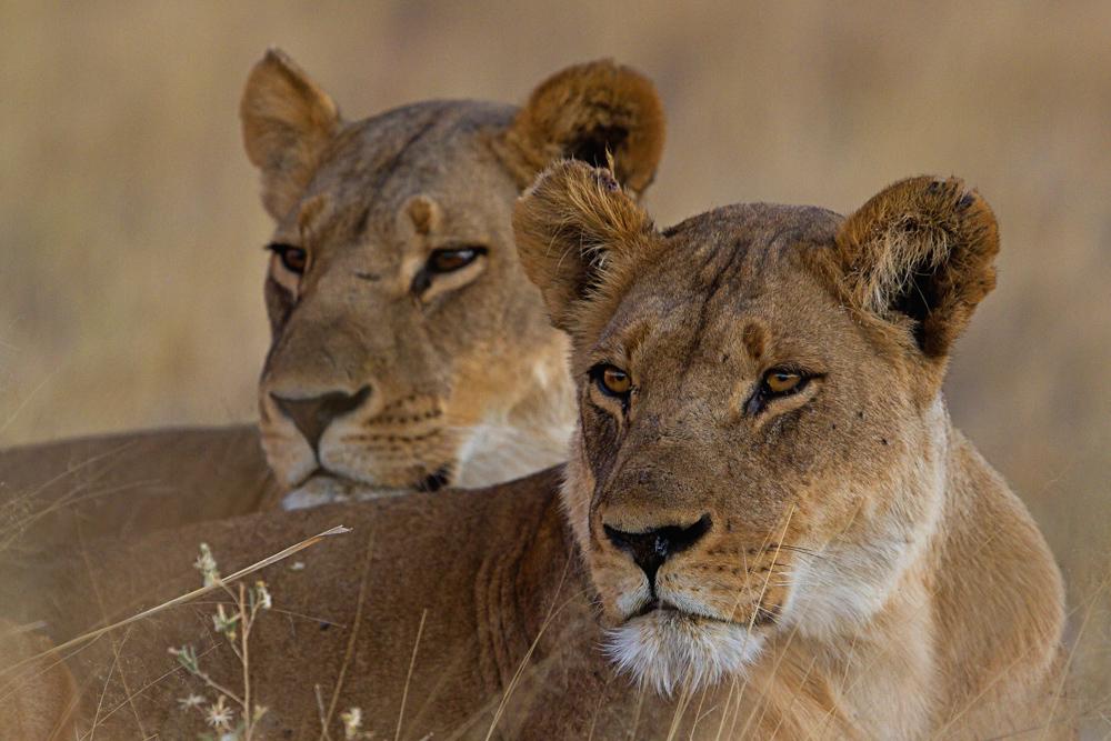 LION 1 -