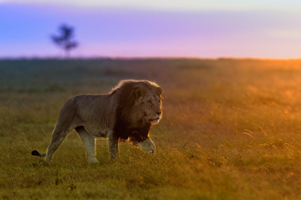 LION 2 -