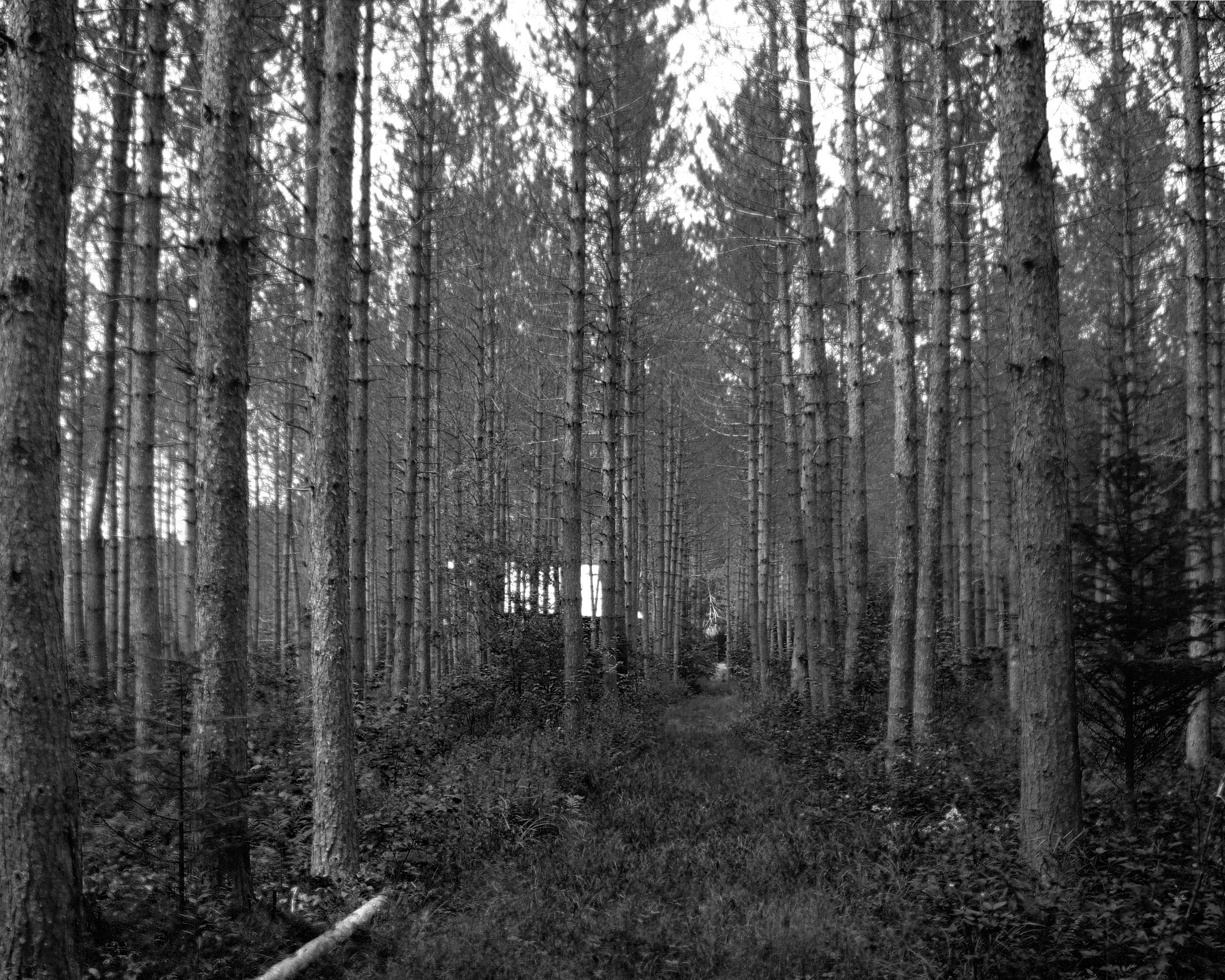 trail through red pine plantation BW.jpg