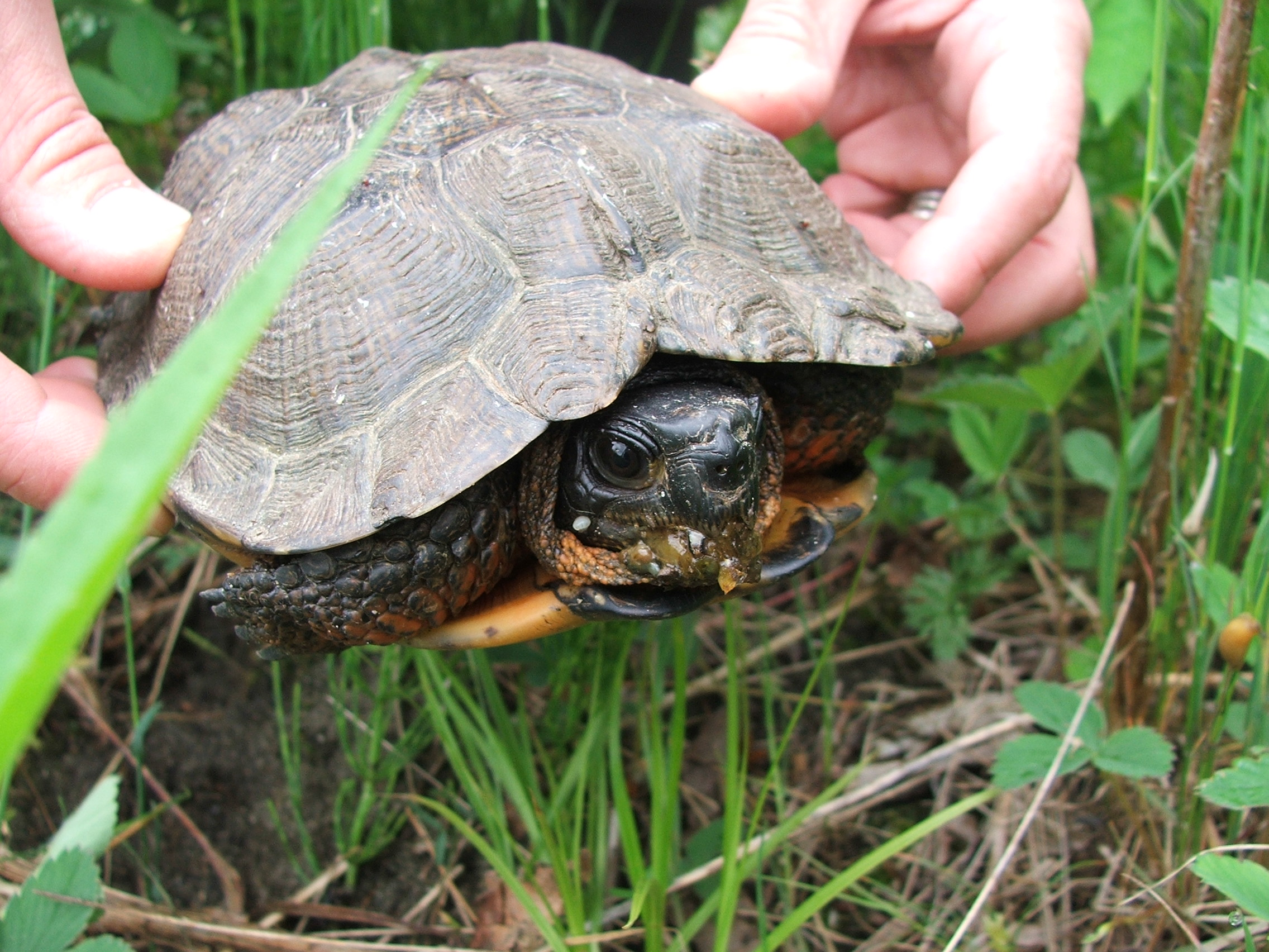 Wood turtle,  Glyptemys insculpta , a species of greatest conservation need and wildlife action plan priority in New Hampshire and Vermont.  Native geographic photographed this turtle while conducting riverine and floodplain natural community assessment. (Click Image to enlarge)