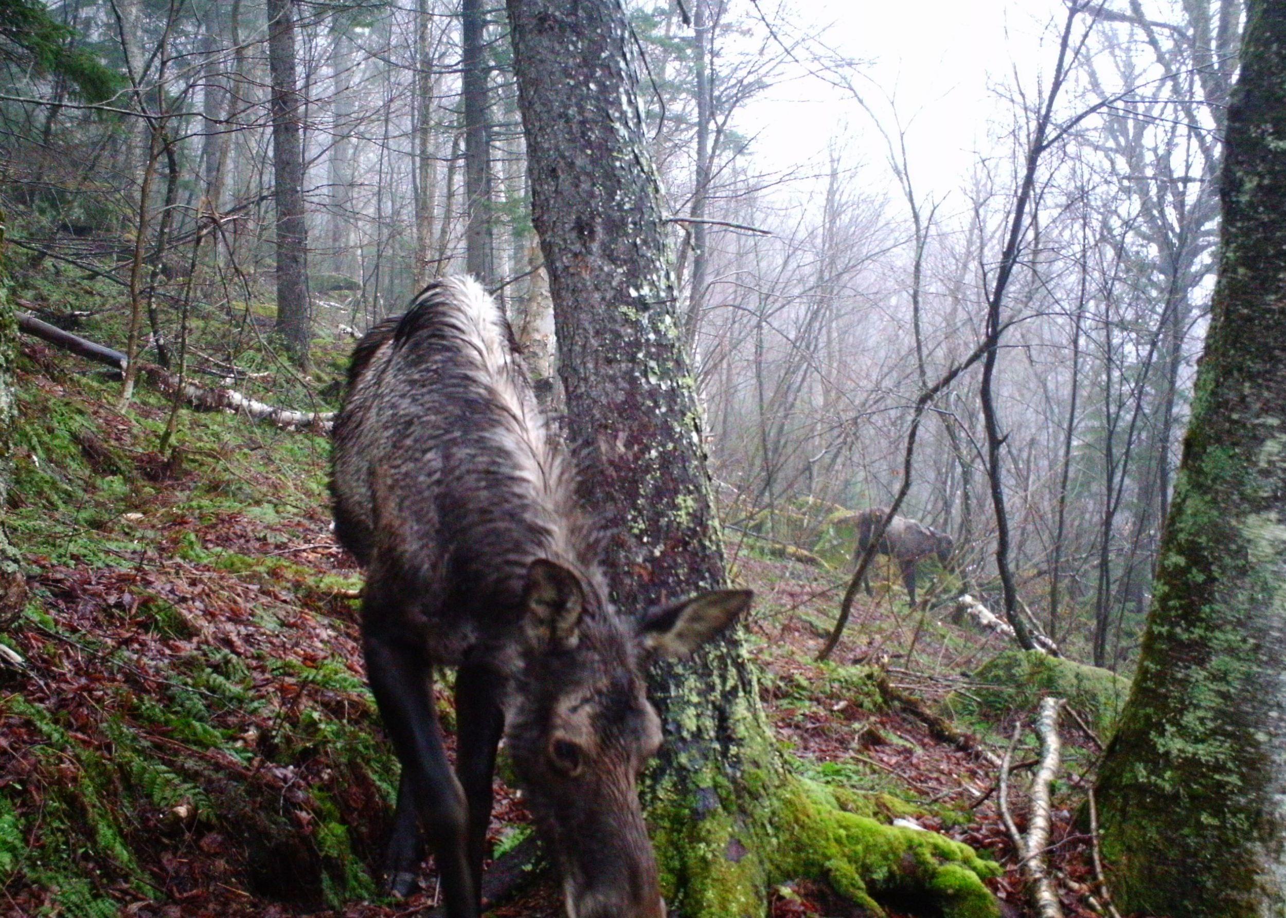 Moose-cropped.jpg