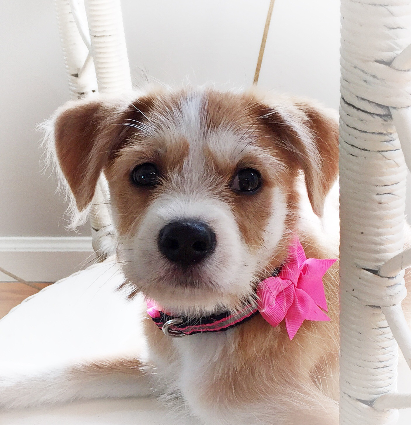 Daisy, our new rescue puppy.