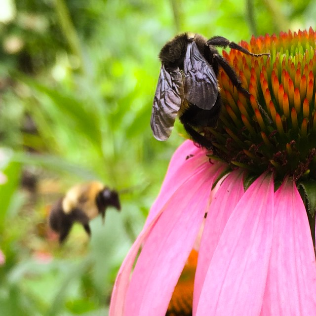 Coneflower and bumblebees