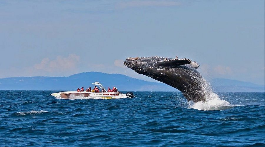 FEATURE-Humpback-whale-putting-on-a-show-for-Eaglewing-passengers-900x500.jpg