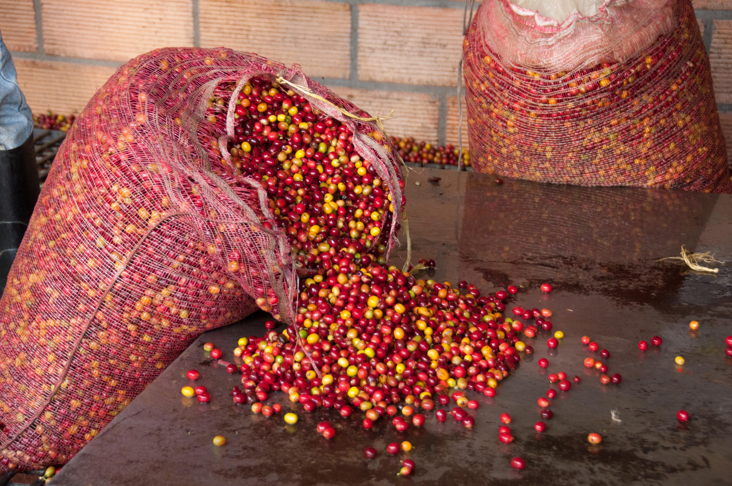 colombia coffee cherries