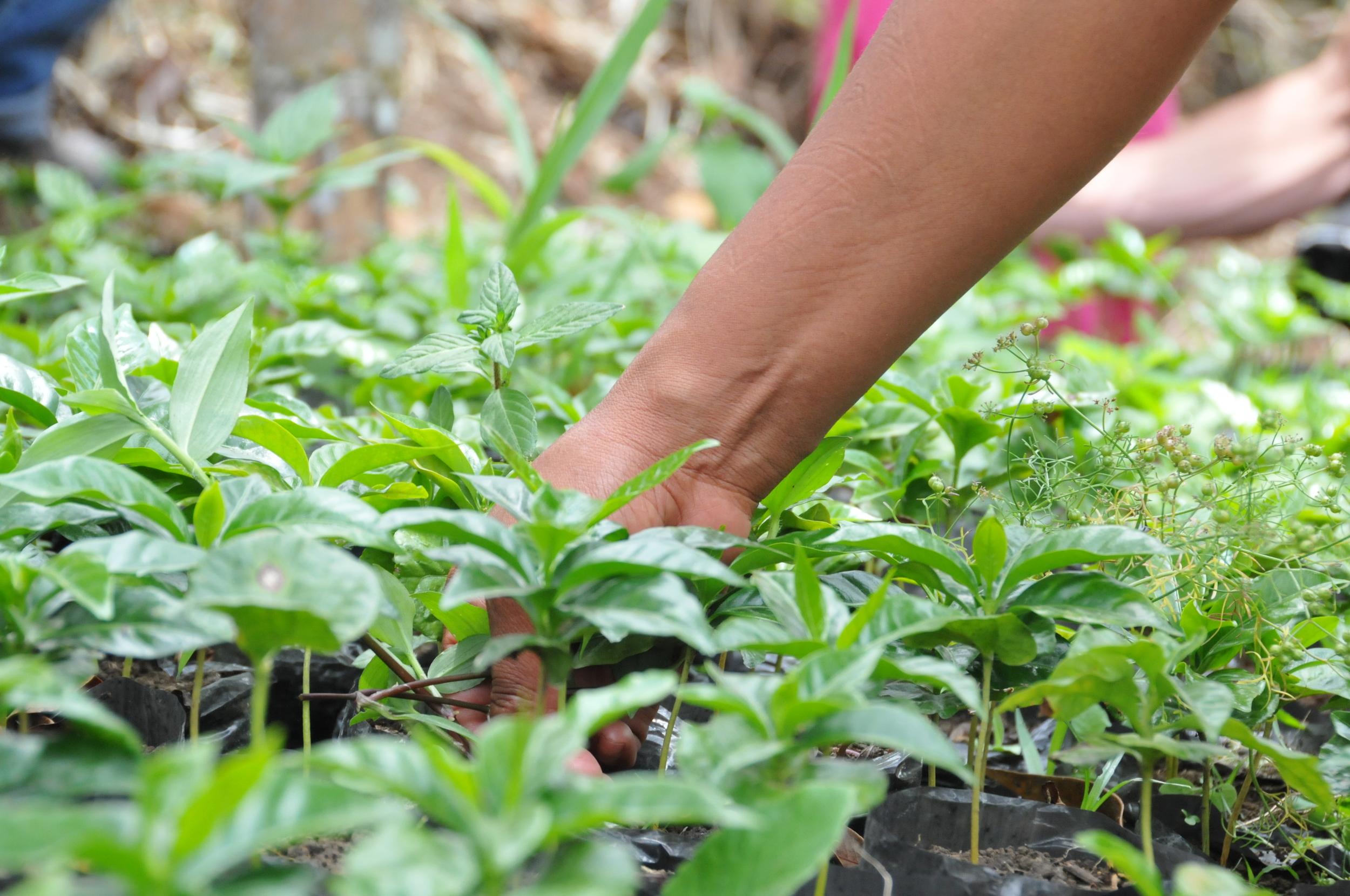 colombian coffee tree plants