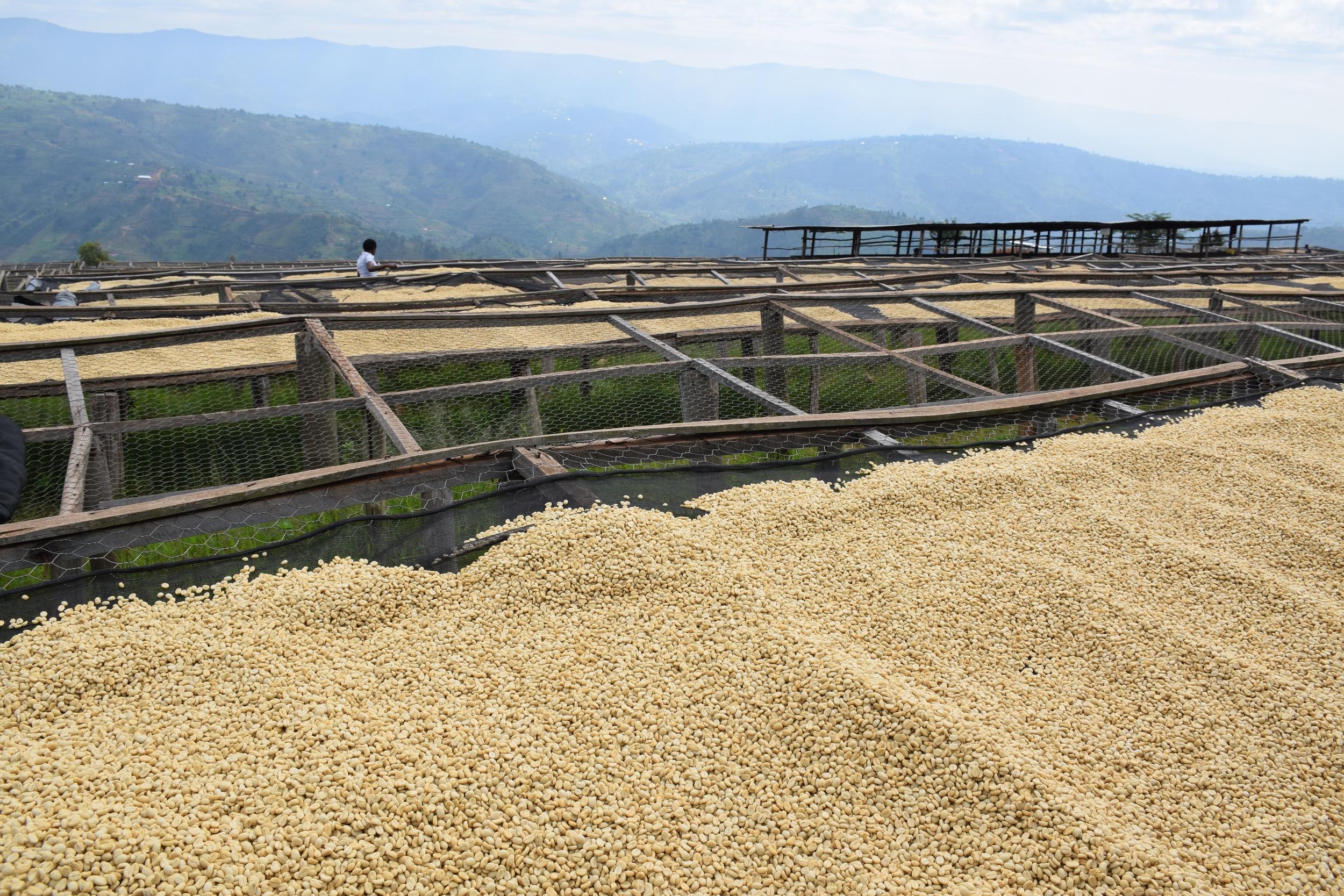 coffee drying in ethiopia