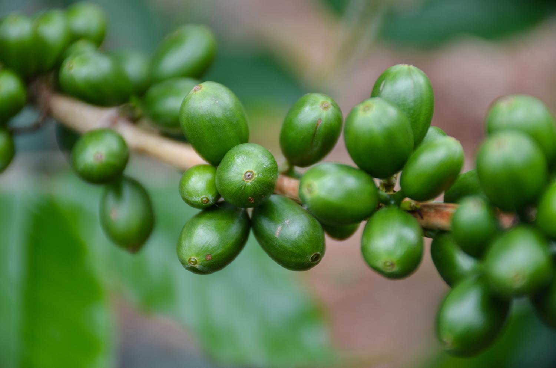 green coffee cherries