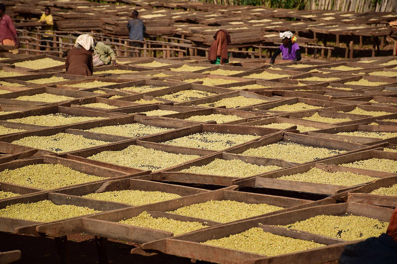 coffee drying in tanzania
