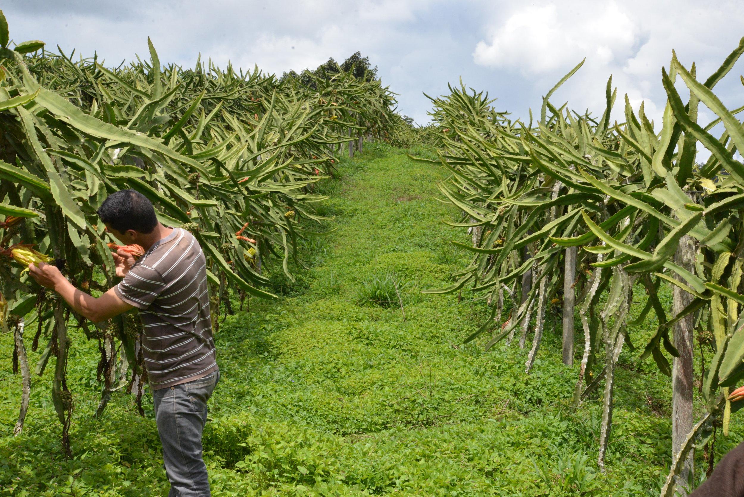 The vineyard-like rows of dragon fruit!