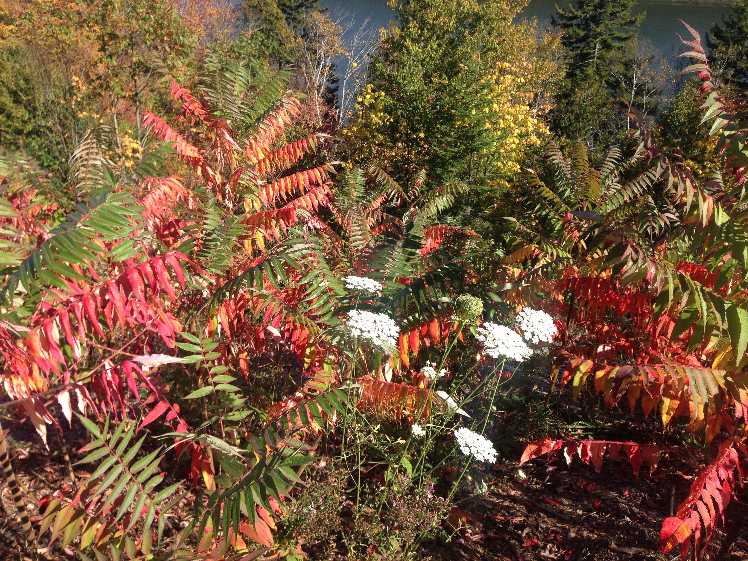 White yarrow (achillea millefolium) brilliantly displays in a fall setting.