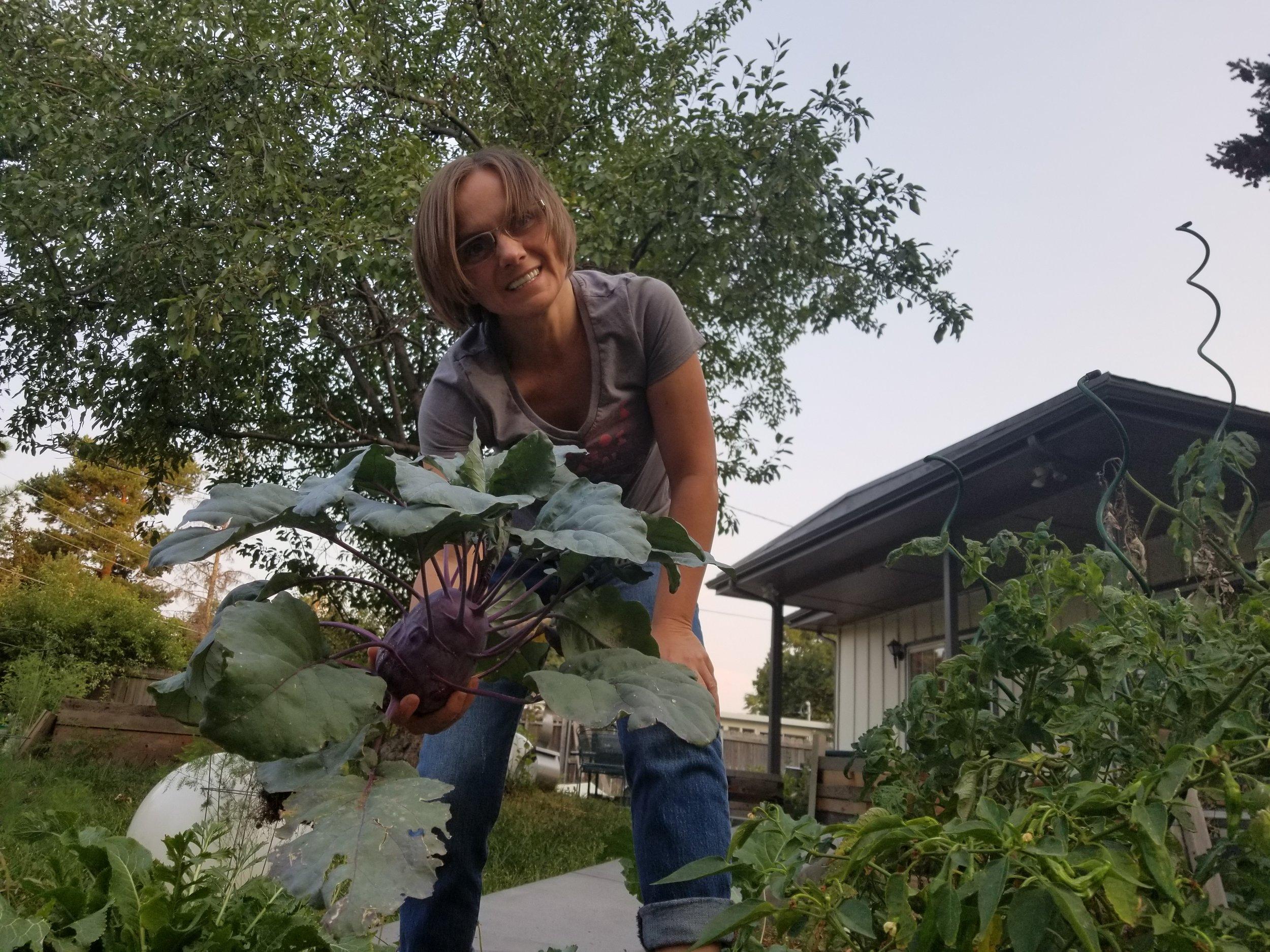 Harvesting kohlrabi.