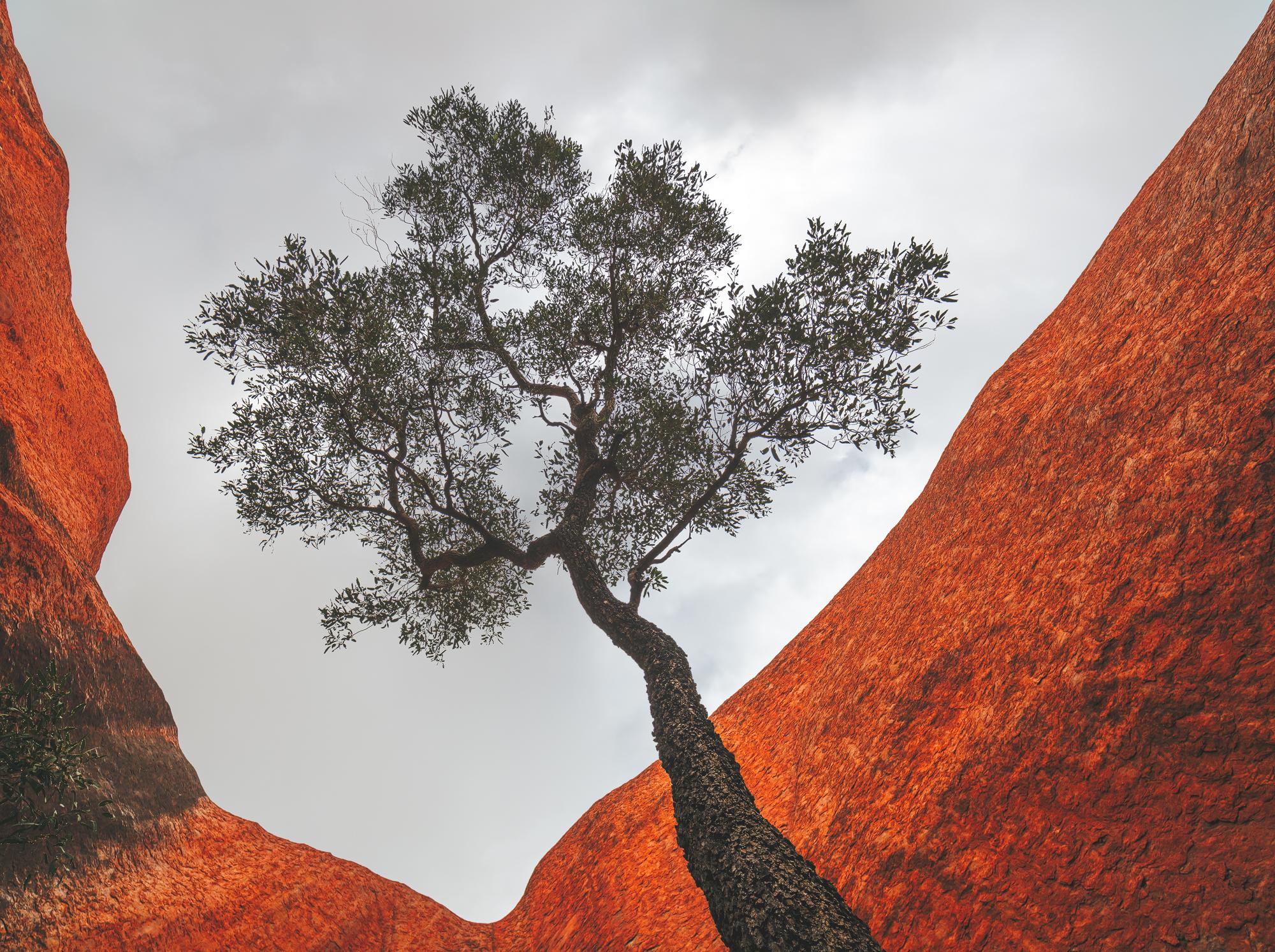 Uluru waterhole tree web.jpg