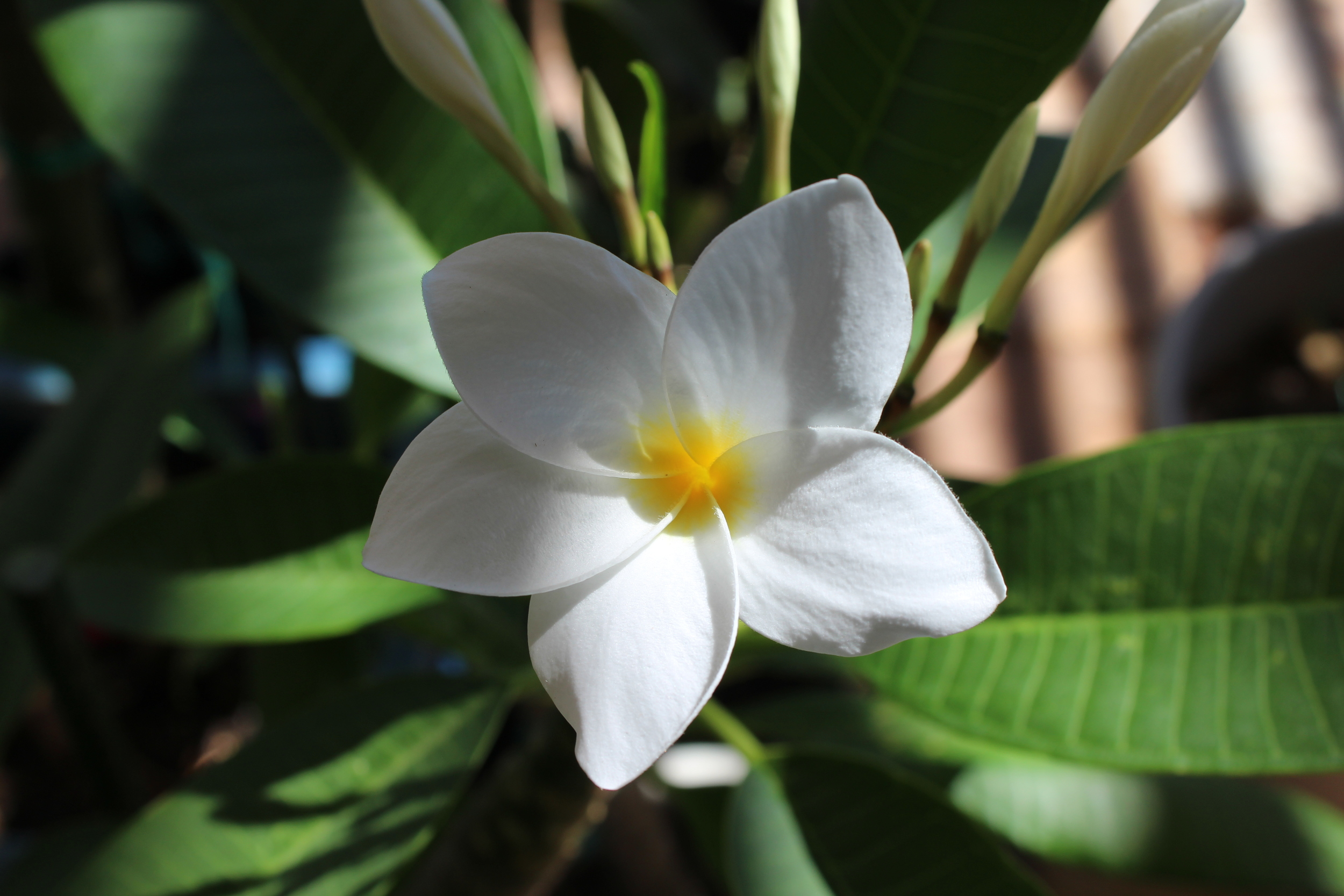 Hausten White plumeria