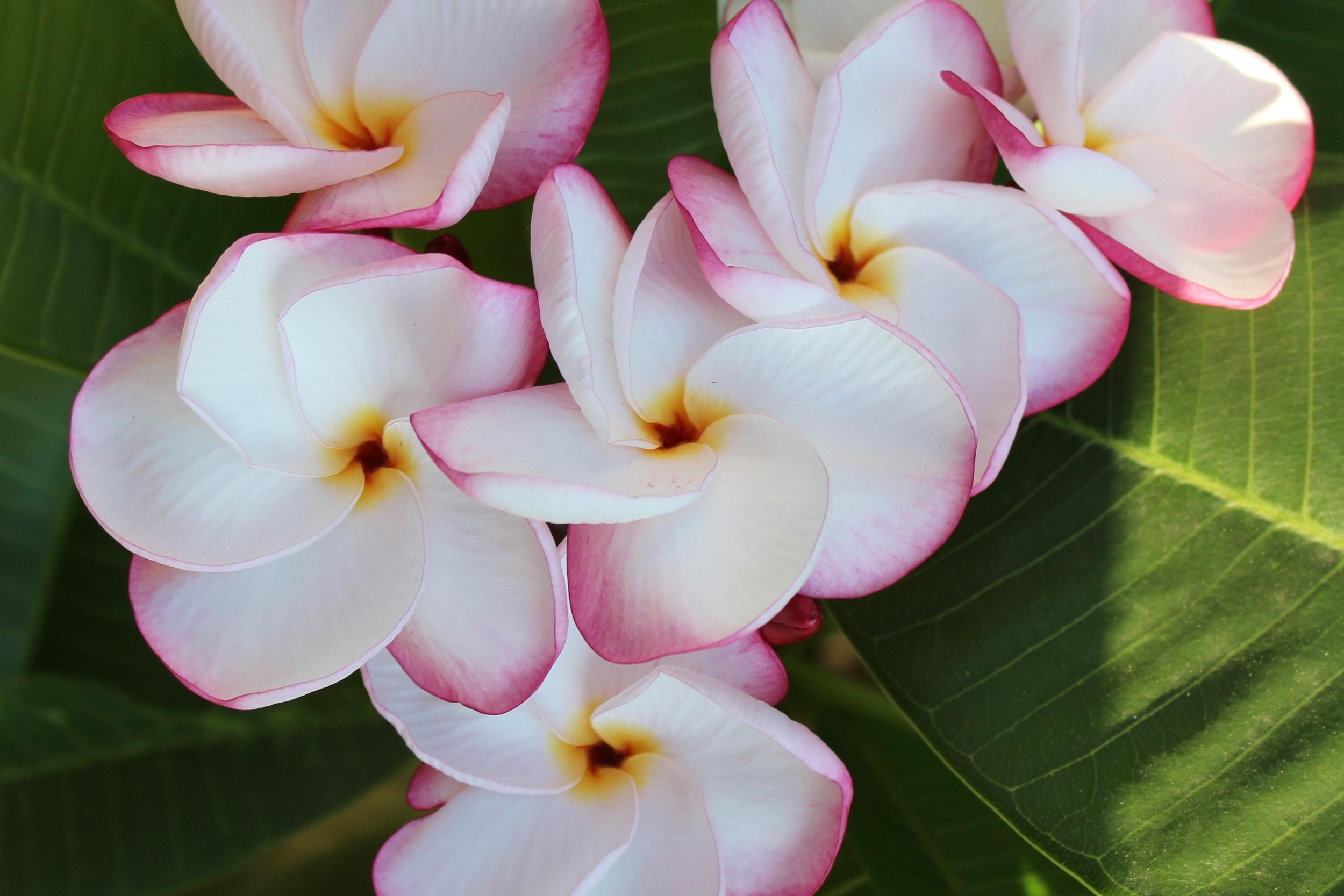 pinkpansyplumeria.jpg