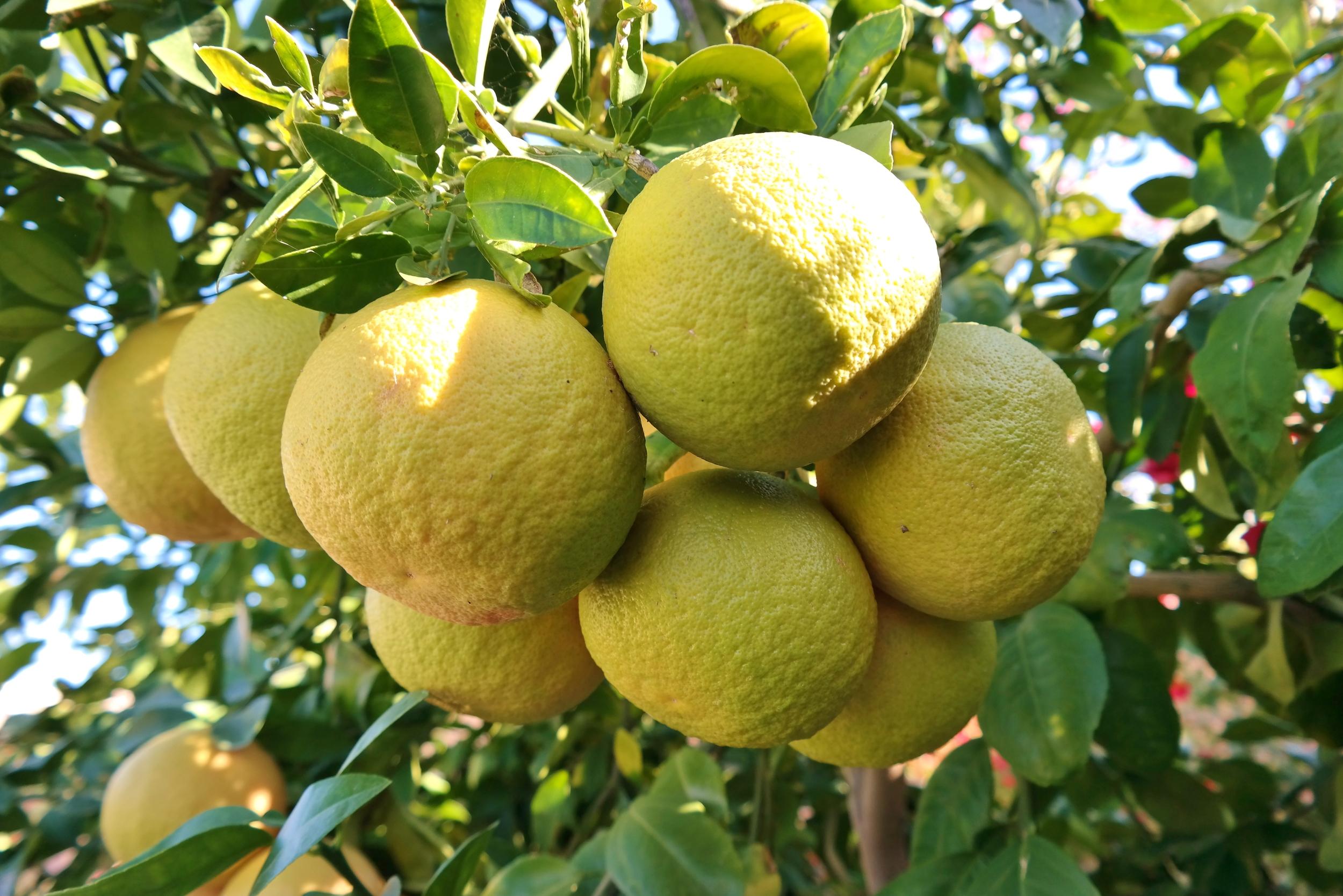 Rio Red grapefruit