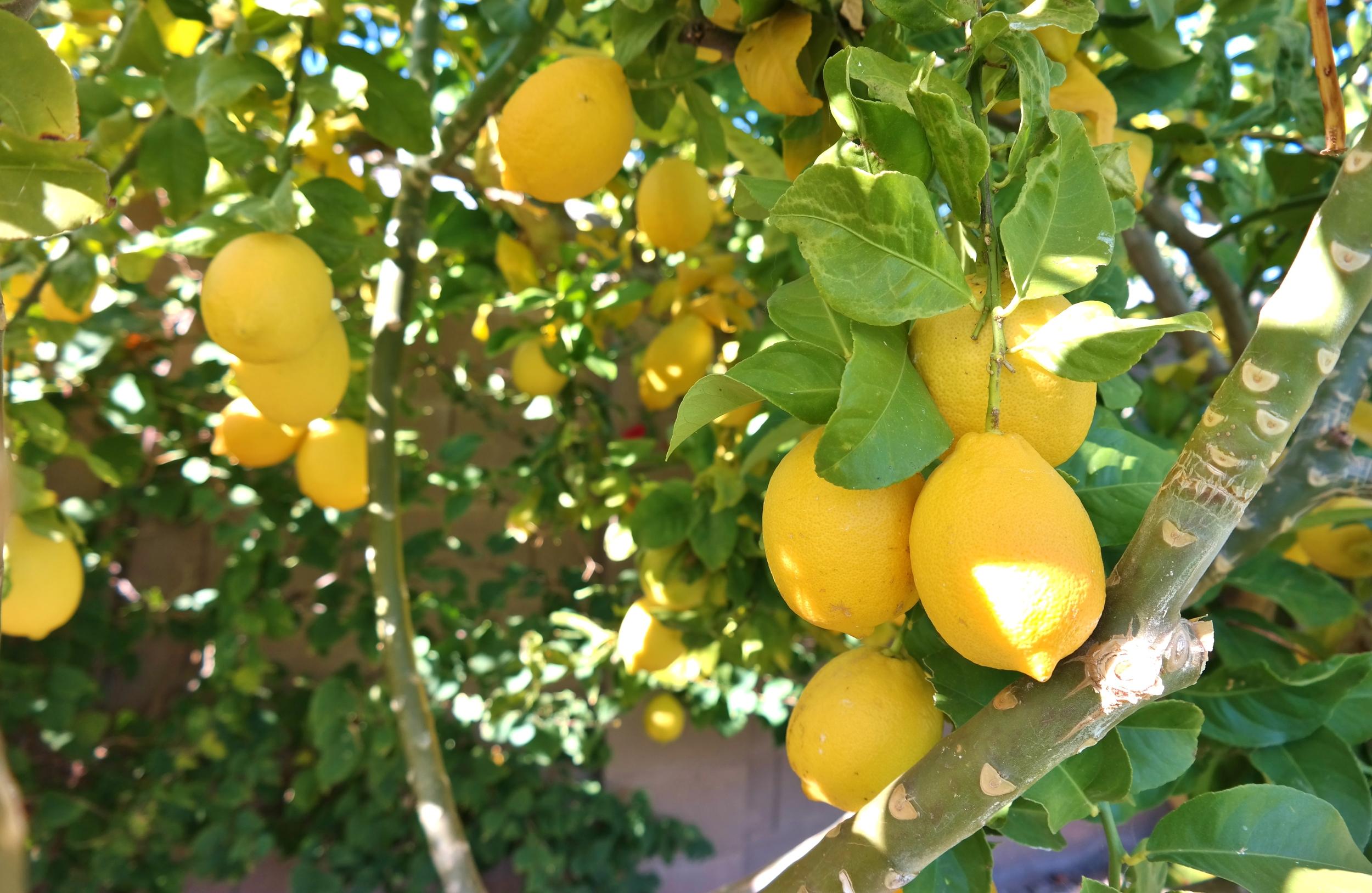 Lisbon lemons