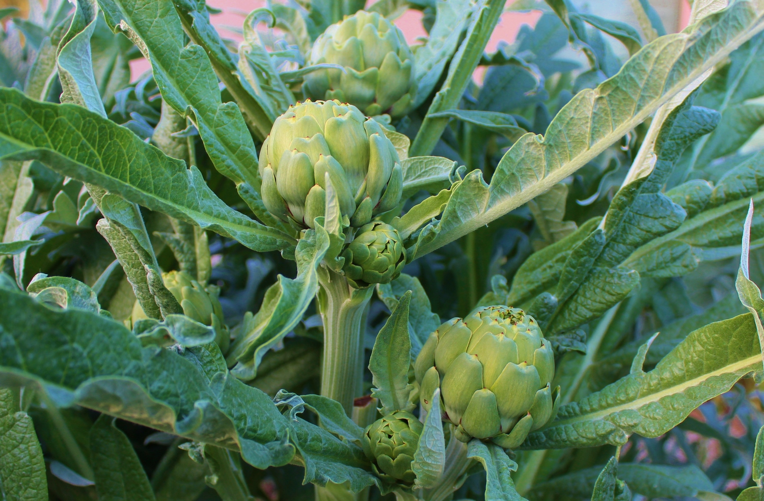 artichokes in arizona
