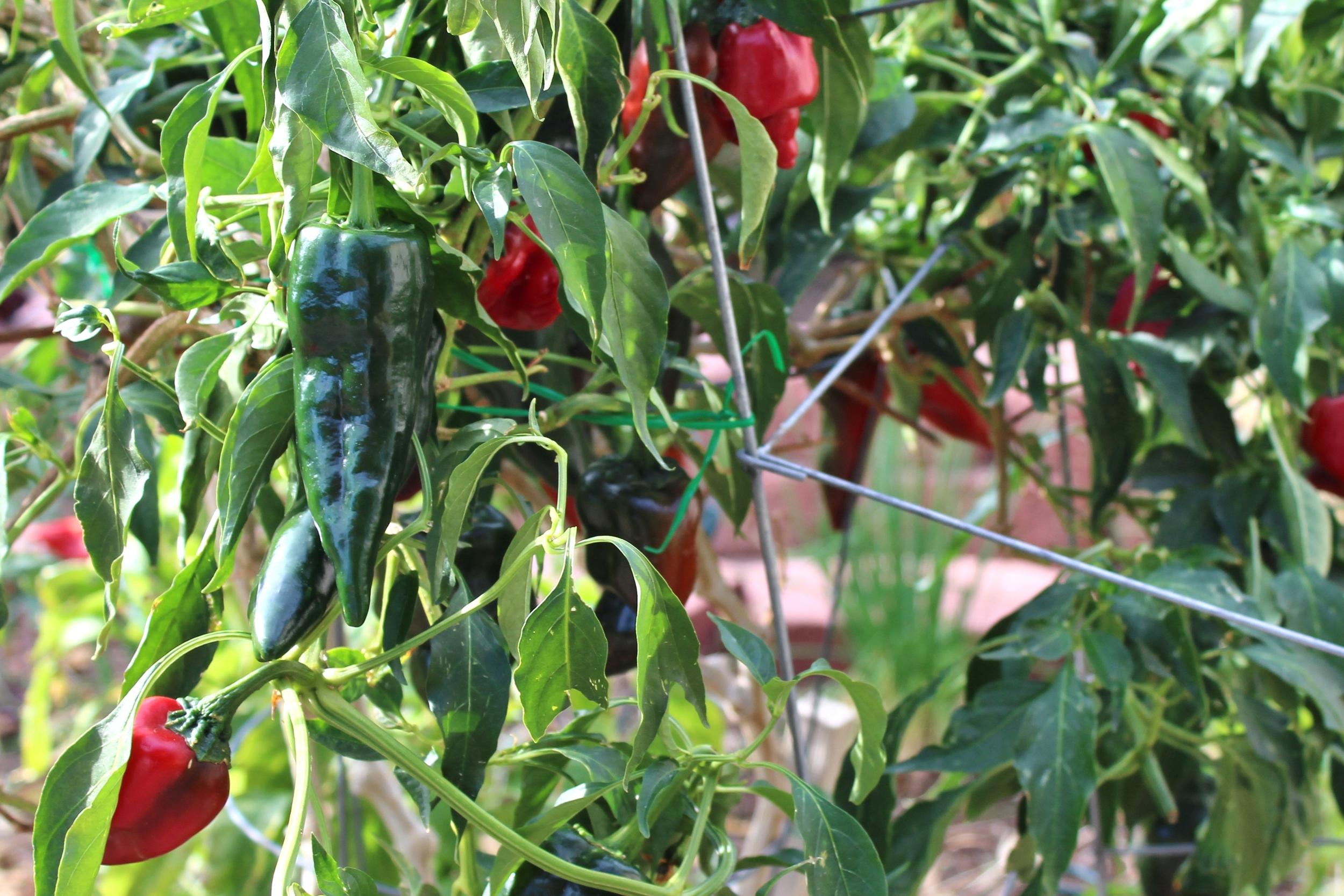 Poblano peppers Phoenix