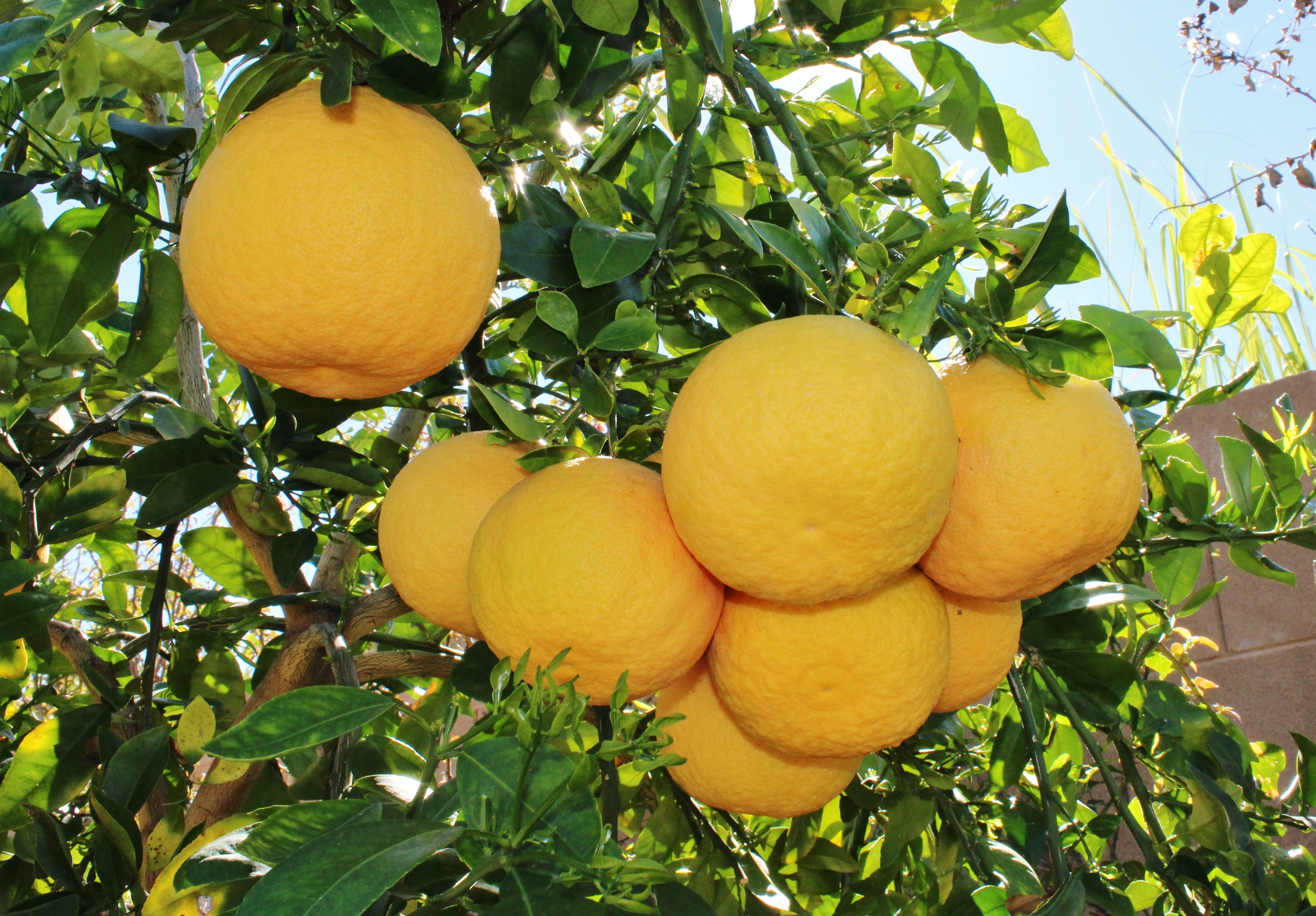 Arizona Rio Red grapefruit