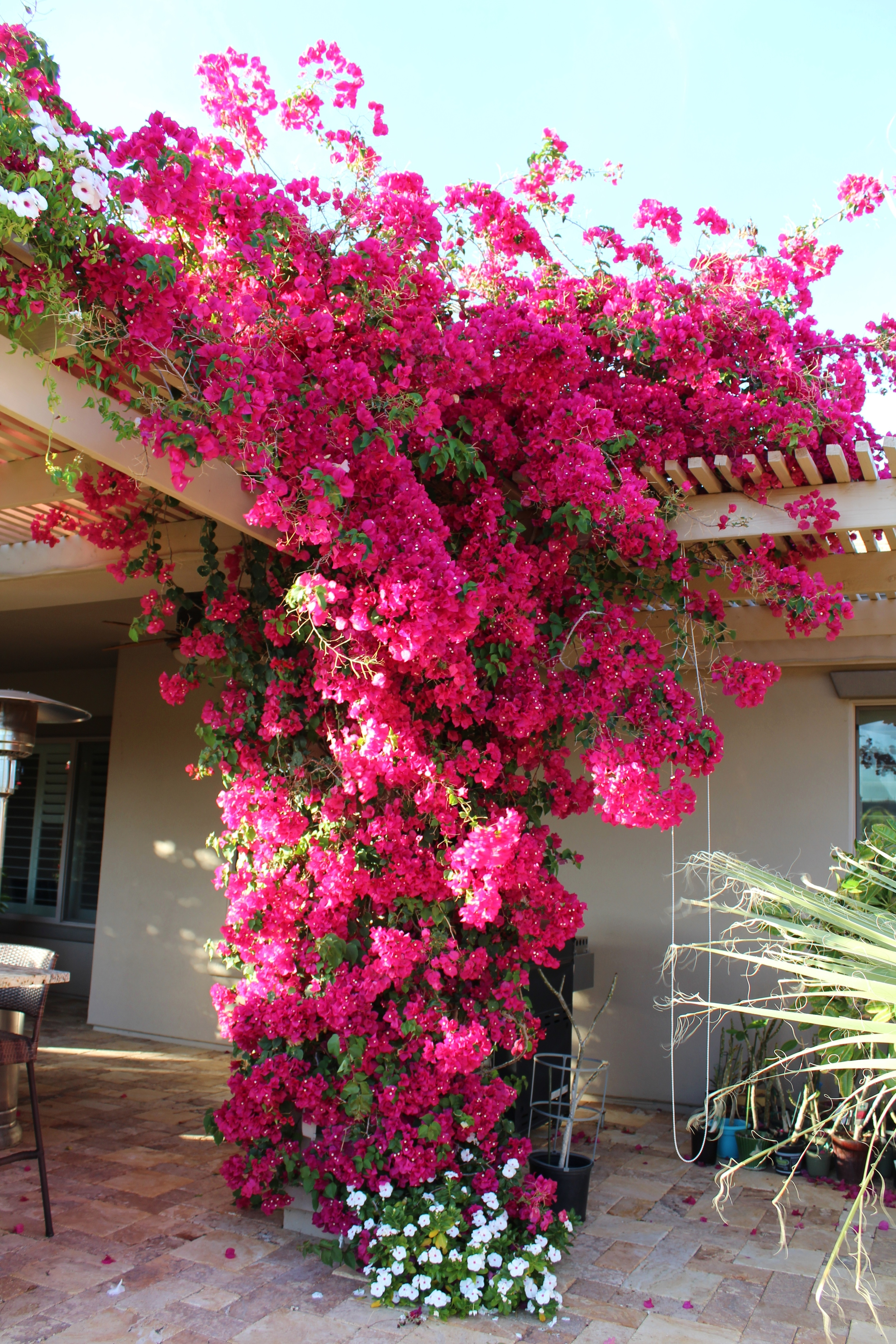 Growing bougainvillea in Phoenix
