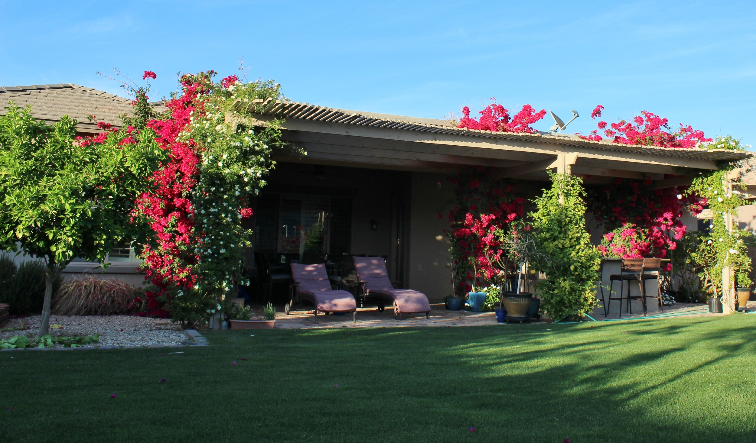 Bougainvillea in Phoenix backyard