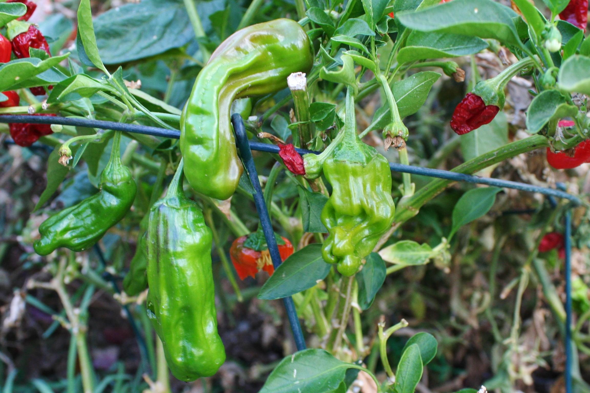 Shishito peppers Arizona