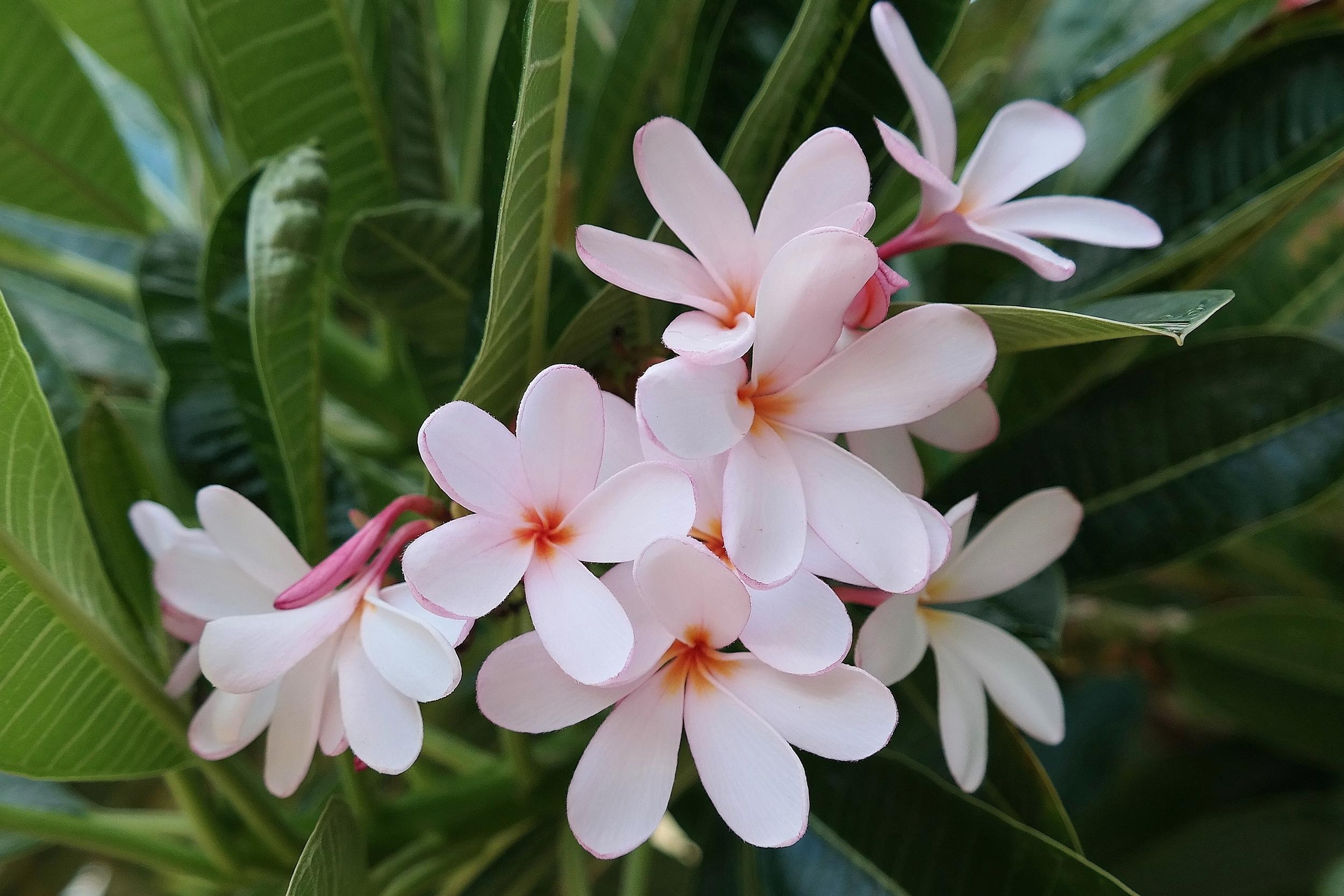 Dwarf Singapore Pink Plumeria Phoenix Arizona