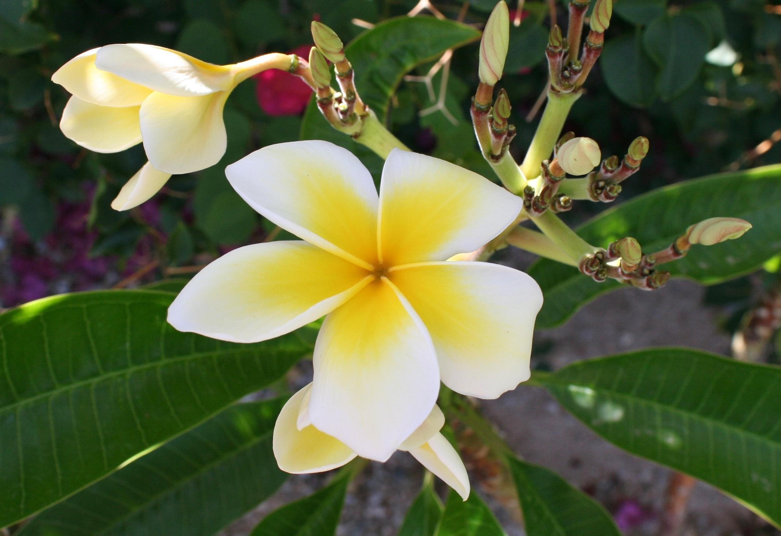Celadine plumeria Arizona