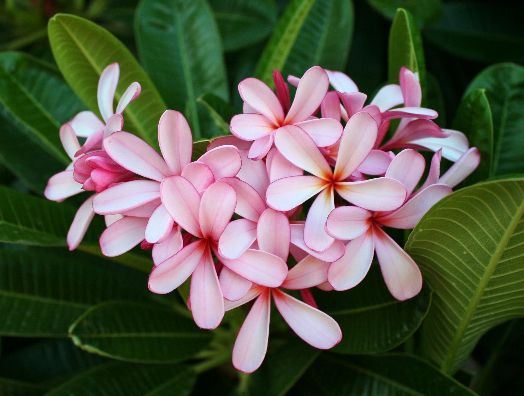 Dwarf Singapore Pink plumeria in June 2016