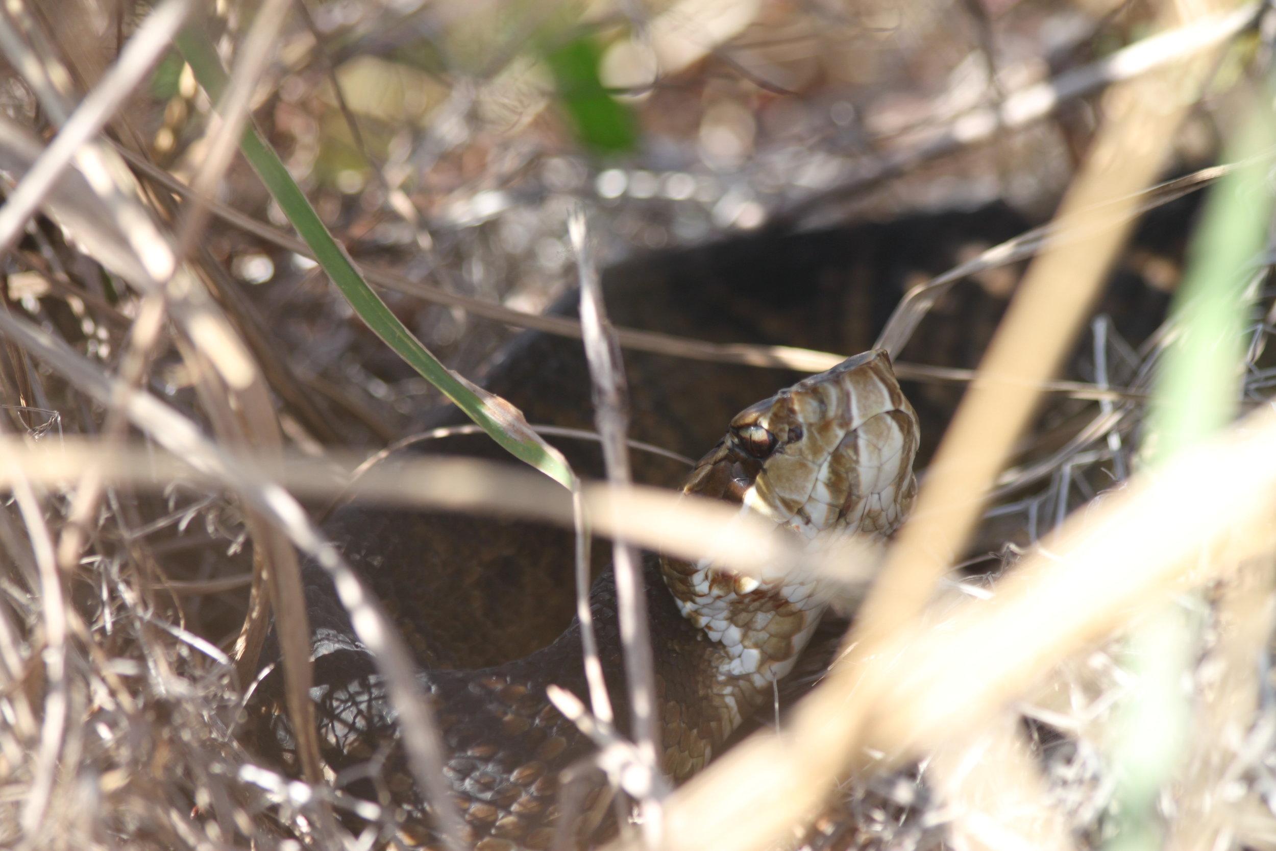 Cottonmouth keeping hidden