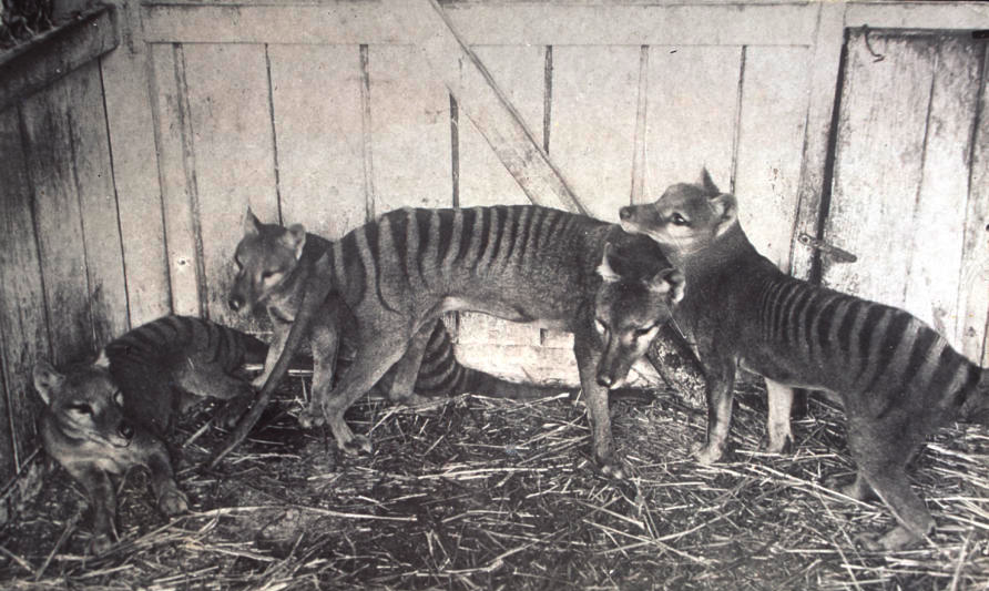 The loss of the Tassie tiger has become an emblem of Australia's  mammal extinction crisis , but sequencing the thylacine genome will not allow us to reanimate the species. Photo credit: TMAG Tasmanian Museum and Art Gallery