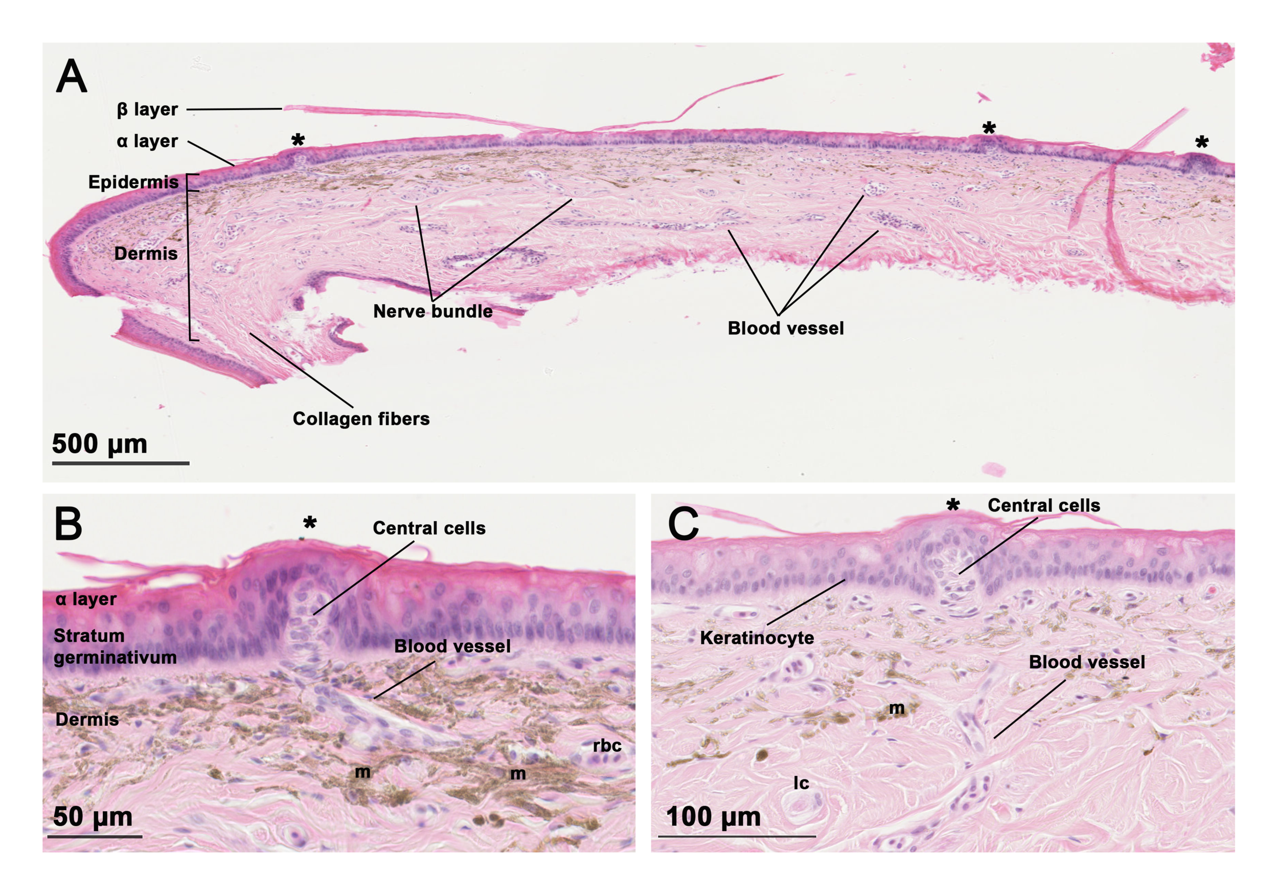 Sections of skin from head of an olive sea snake ( Aipysurus laevis ) showing the anatomy and cell types of scale 'sensilla'.  Image credit: Crowe-Riddell, et al. (2019), Royal Society Open Science, doi: 10.1098/rsos.182022.